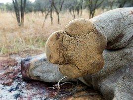 rhino_poach_foot_gallo_HC09DYs.jpg