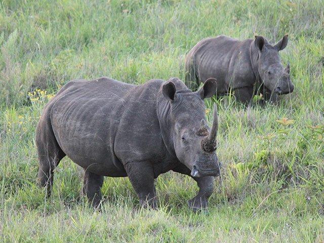 Two Rhino poachers killed