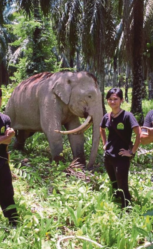 elephant with sabretooth tusks found in malaysia