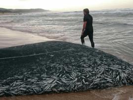 Sardines hit KZN shores