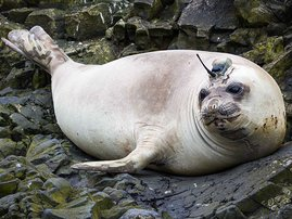 Selso the seal - supplied