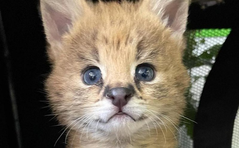 RESCUED: A Serval Kitten has been rescued by Wildlife Veterinary Hospital