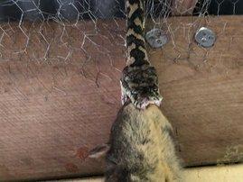 Python possum