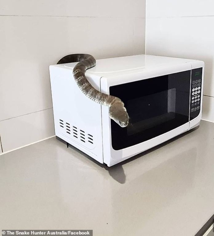 A deadly eastern tiger snake has been caught hiding under a microwave