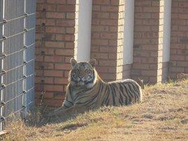 Tiger PTA