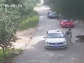 Tiger attack in China_video