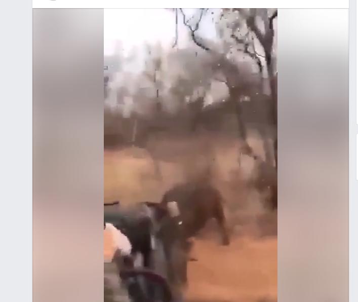 buffalo attacks vehicle