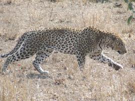 walking_leopard.PNG