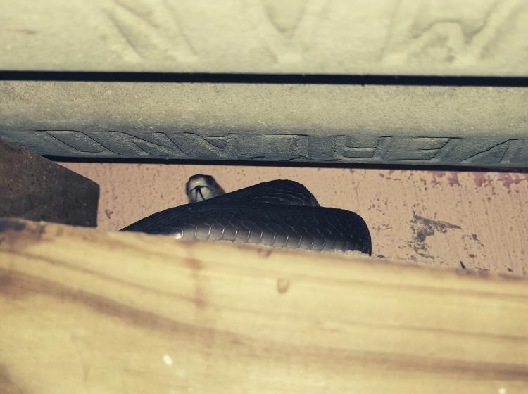 Westville mamba in garage roof