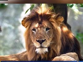 zuri lion